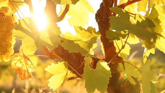 dolly hd: luce del sole in arrivo attraverso vineyard - vite flora video stock e b–roll