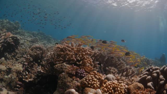 Sonnenlicht, Korallen Riff, gelbes Goatfish, Schulung