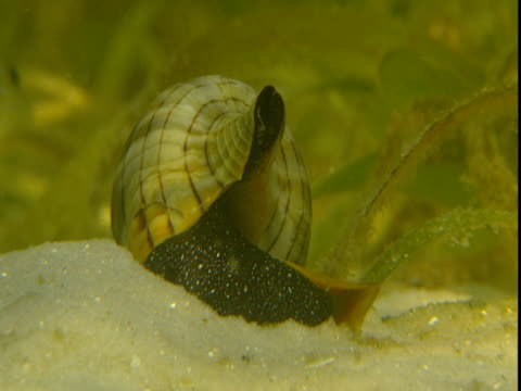 sunlight dances over a banded tulip snail as it digs in sand. - animal shell stock videos & royalty-free footage
