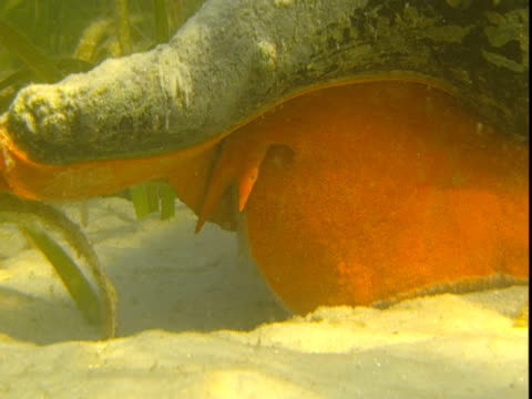 sunlight dapples a large florida horse conch that inches along a sandy seabed. - animal shell stock videos & royalty-free footage