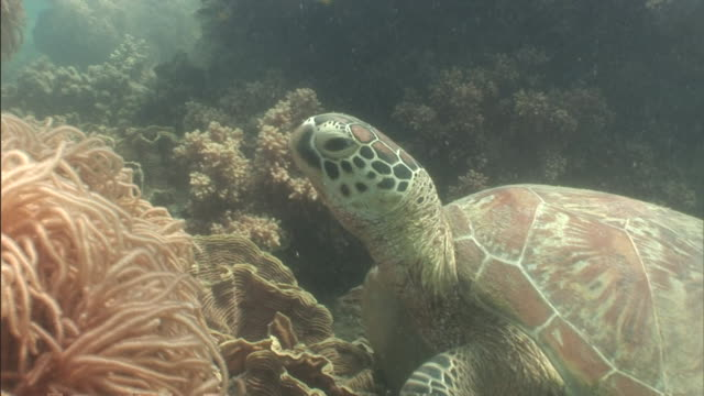 sunlight dapples a loggerhead turtle that moves across corals in the great barrier reef. - loggerhead sea turtle stock videos & royalty-free footage