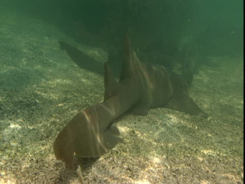Sunlight dapples a nurse shark that rests on a shallow seabed.