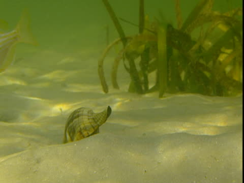 sunlight dapples a sandy seabed where a banded tulip snail forages. - animal shell stock videos & royalty-free footage