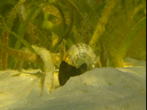 sunlight dapples a sandy seabed where a banded tulip snail slowly raises its shell. - animal shell stock videos & royalty-free footage