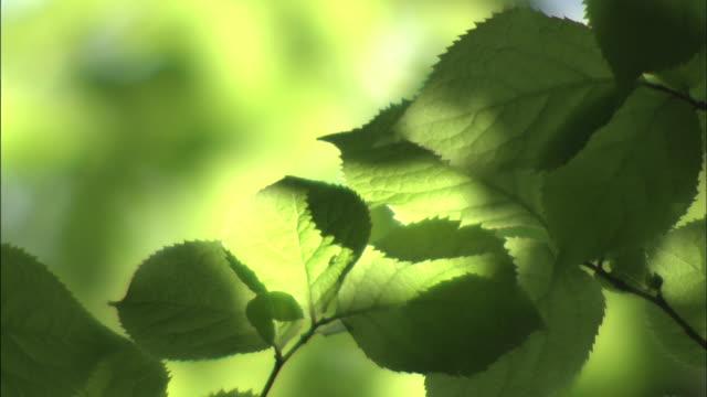 Sunlight dapples green beech leaves.