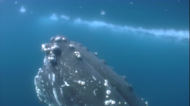 Sunlight dapples over the head of a humpback whale underwater. Available in HD.