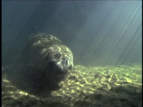 Sunlight dapples water as a manatee swims underwater.