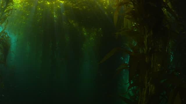 sunlight falling on kelp plants undersea - monterey, california - kelp stock-videos und b-roll-filmmaterial