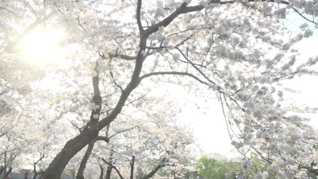 光を桜の花のフィルタリング - 政治行動委員会点の映像素材/bロール