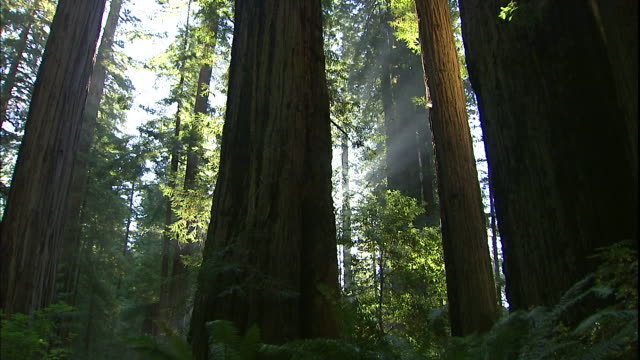 vídeos de stock, filmes e b-roll de sunlight filters through a redwood forest. - parque nacional de redwood