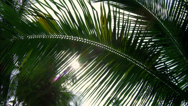 sunlight filters through palm fronds. - palmenblätter stock-videos und b-roll-filmmaterial