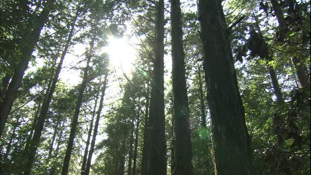 sunlight filters through the foliage of japanese cedar trees in the kii mountain range in japan. - cedar stock videos & royalty-free footage