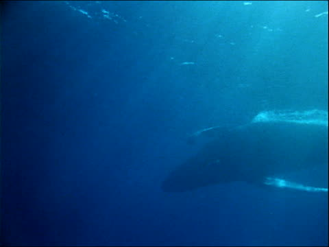 sunlight filters through the ocean as a humpback whale swims by. - cetacea stock videos & royalty-free footage