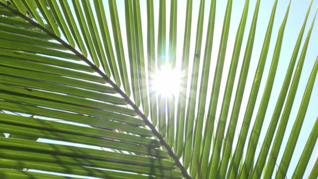vídeos de stock e filmes b-roll de td / sunlight flash through palm leaf - palmeira
