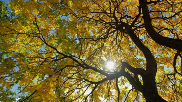 Sunlight flickers through the canopy of an Ash tree with golden yellow autumnal leaves and dark branches silhouetted against the blue sky