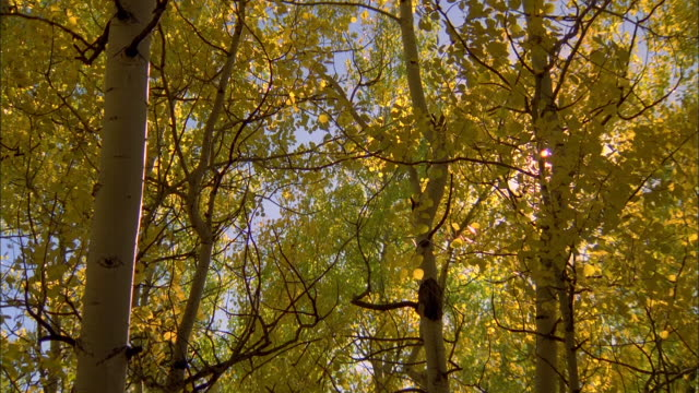 sunlight flickers through the golden leaves of an aspen grove. available in hd. - grove stock videos & royalty-free footage