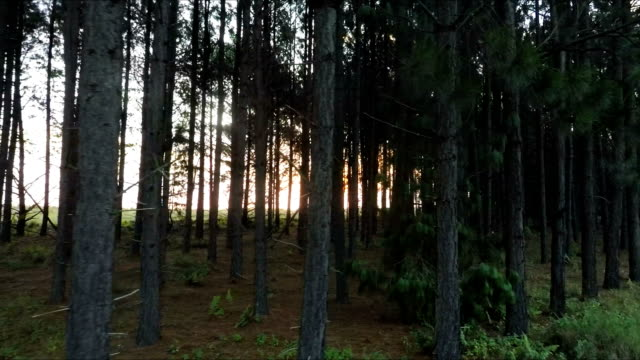 vídeos de stock, filmes e b-roll de cintilando ao sol paisagem de floresta, mpumalanga, áfrica do sul - cedro do líbano