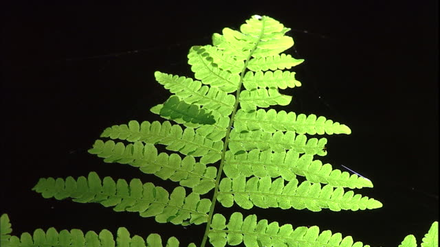 sunlight glows on a fern frond. - fern stock videos & royalty-free footage