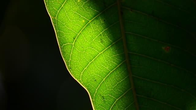 sunlight green leaf - lobe stock videos & royalty-free footage