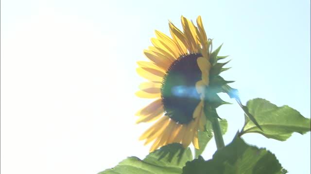 Sunlight illuminates a sunflower.