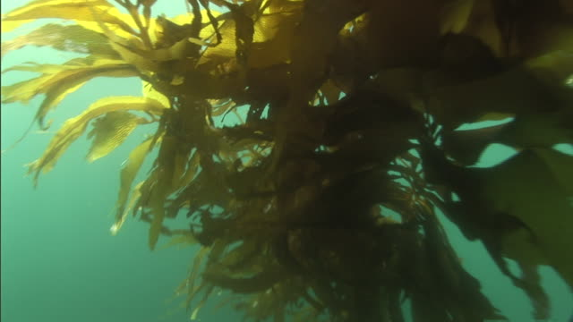 vídeos y material grabado en eventos de stock de sunlight illuminates leaves in a kelp forest. - quelpo