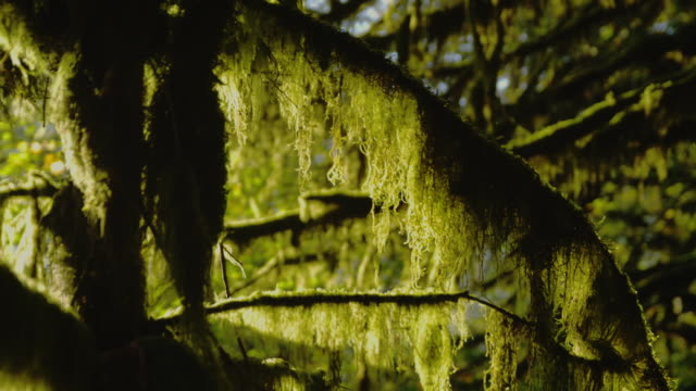 vídeos y material grabado en eventos de stock de sunlight illuminates moss hanging from tree branches. - olympic national park