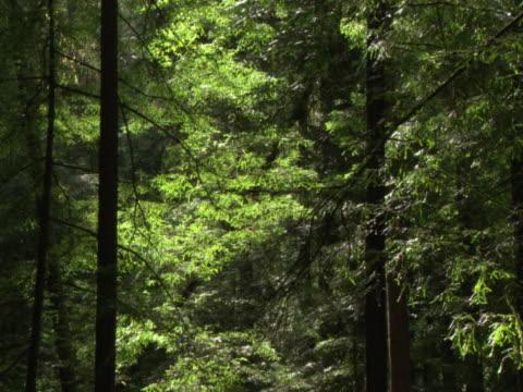 Sunlight illuminating redwoods
