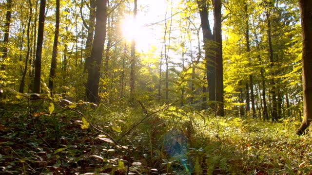 vídeos de stock, filmes e b-roll de ws luz do sol no outono floresta - raw footage