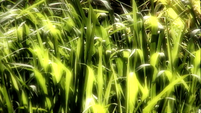 sunlight kissed green grasses sway in a gentle breeze. - impressionism stock videos & royalty-free footage