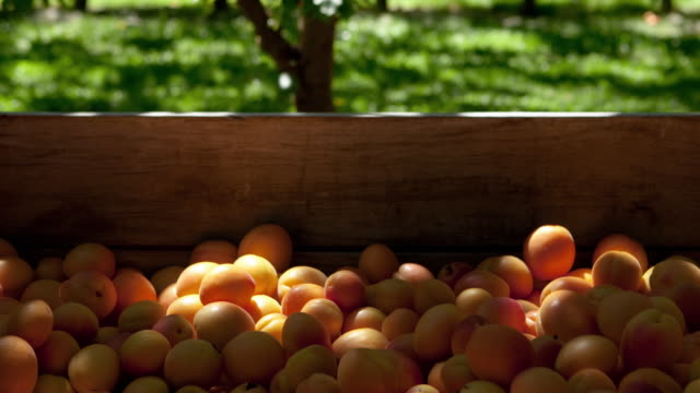 T/L CU ZO Sunlight moving across crate of freshly picked apricots in orchard / Cromwell, Central Otago, New Zealand