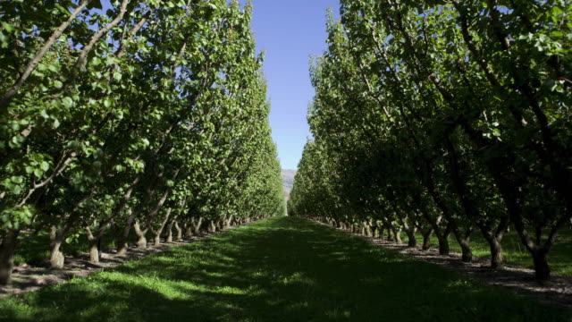 T/L WS Sunlight moving through row of apricot trees in orchard / Cromwell, Central Otago, New Zealand