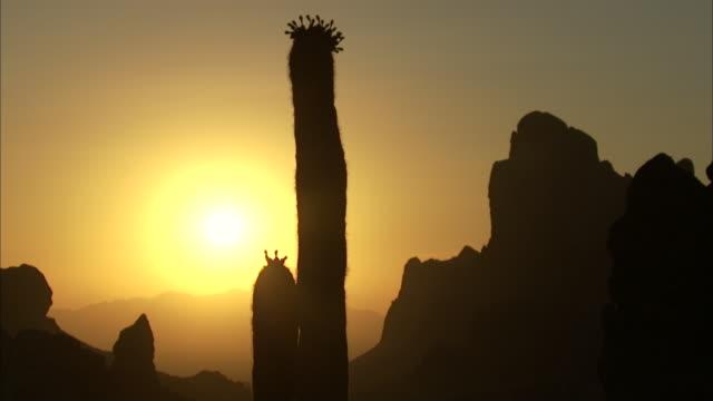 sunlight on blooming saguaro cactus - cactus silhouette stock videos & royalty-free footage