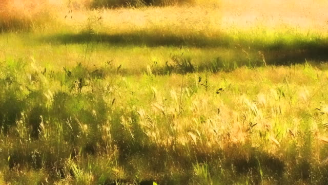 sunlight on golden grasses in a field. - digital enhancement stock videos & royalty-free footage