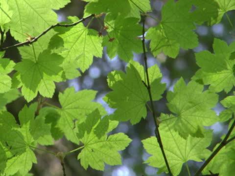Sunlight on maple leaves