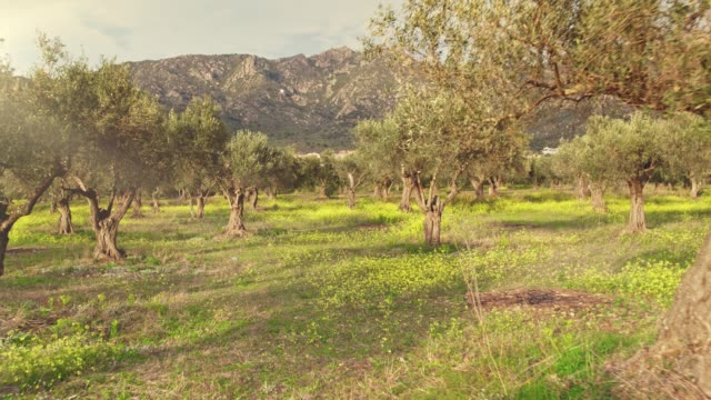 vídeos de stock e filmes b-roll de sunlight over olive tree grove - campo
