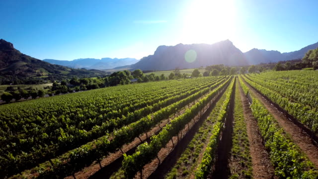 sunlight over the vineyard - vineyard stock videos & royalty-free footage