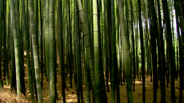 sunlight penetrates a dense bamboo forest. available in hd. - bamboo plant stock videos and b-roll footage