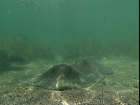 sunlight plays across stingrays that rest on a shallow seabed. - southern stingray stock videos and b-roll footage