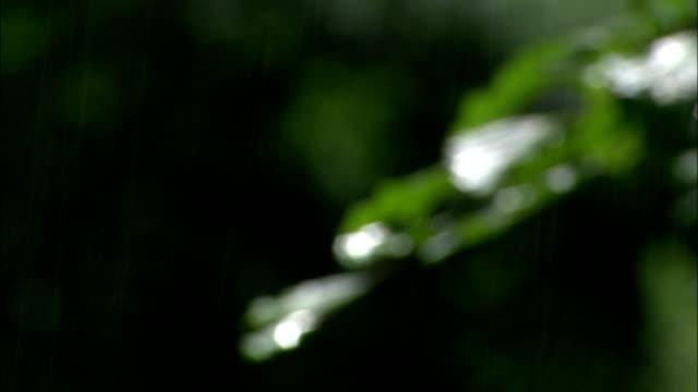 vídeos de stock, filmes e b-roll de sunlight reflects off slender leaves as it rains. - pingo de chuva