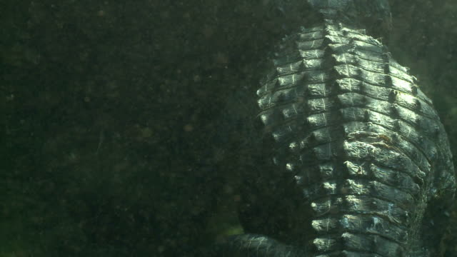 sunlight reflects off the scaly back of an underwater alligator. - scaly stock videos & royalty-free footage
