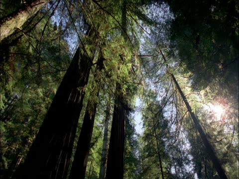 Sunlight shifts over coast redwood trees, Redwood National Park, USA