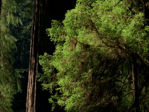 vídeos y material grabado en eventos de stock de sunlight shifts over coast redwood trees, redwood national park, usa - secoya