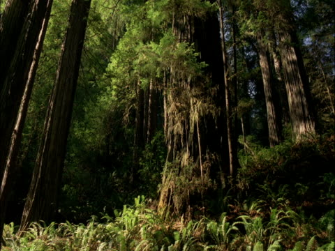vídeos de stock, filmes e b-roll de sunlight shifts over coast redwood trees, redwood national park, usa - floresta de sequoias