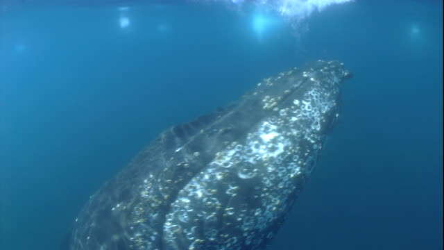 Sunlight shimmers over the body of a humpback whale as it swims near surface. Available in HD.