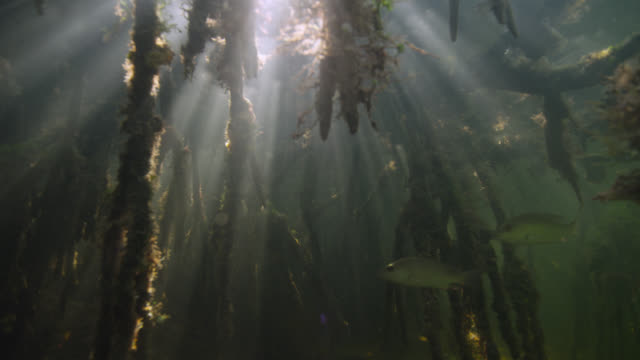 sunlight shimmers through mangrove swamp, belize - tropical tree stock videos & royalty-free footage