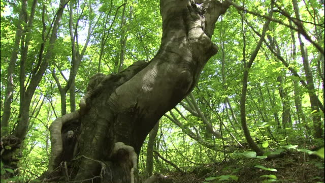 sunlight shines above the leaves of twisted japanese beech trees in mt. chokai, japan. - 鳥海山点の映像素材/bロール