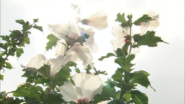 sunlight shines down on white hibiscus syriacus flowers. - eibisch tropische blume stock-videos und b-roll-filmmaterial