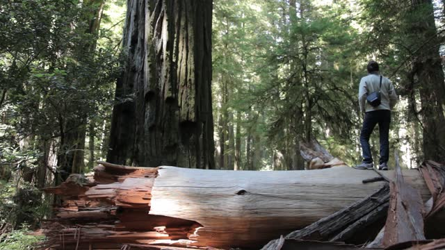vídeos y material grabado en eventos de stock de sunlight shines on a beautiful old-growth redwood forest in humboldt, california. woman in context: secuoia sempervirens trees are among the tallest and most massive tree species on the planet. - california del norte