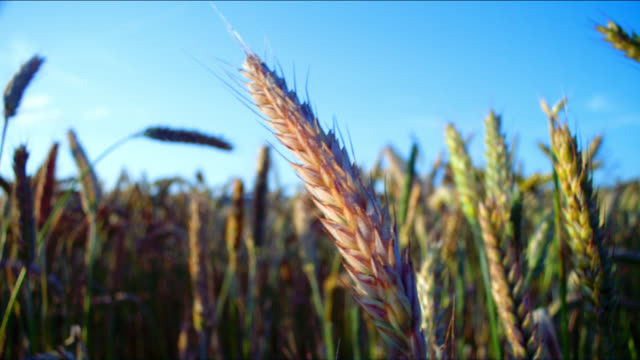 sunlight shines on stalks of wheat in a field. - grass family stock videos & royalty-free footage
