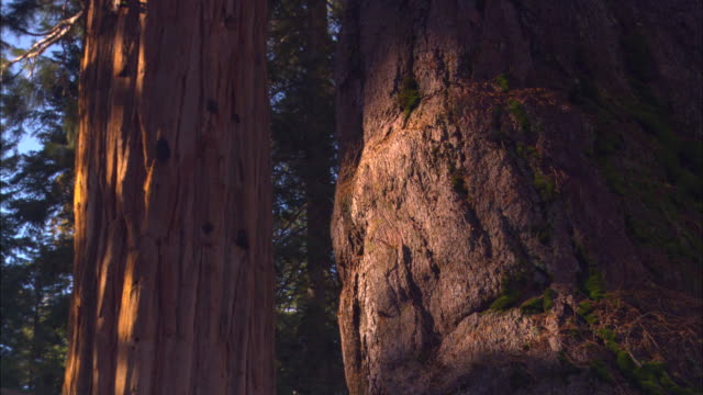 sunlight shines on the trunks of sequoia trees in sequoia national park. - sequoia national park stock videos & royalty-free footage